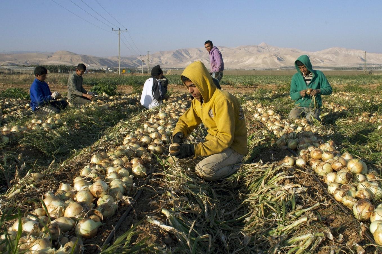 Men picking onions in a field.