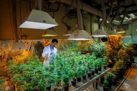 Scientist in a marijuana facility