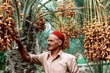 A farmer examining a date palm