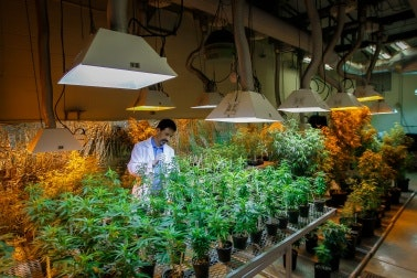 Scientist in a marijuana facility