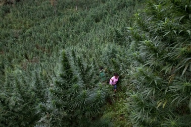 A woman walking through a field of tall marijuana plants