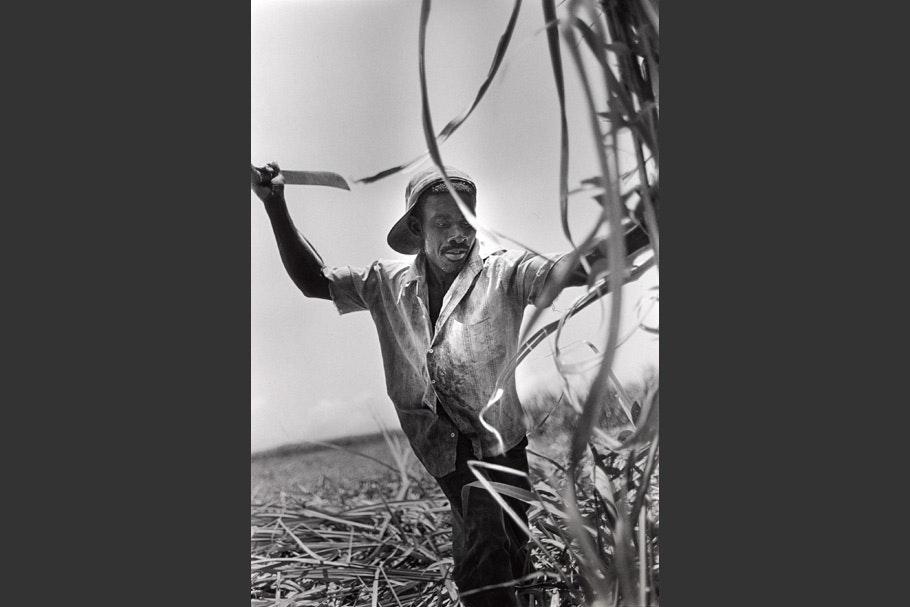 A worker cutting sugarcane.