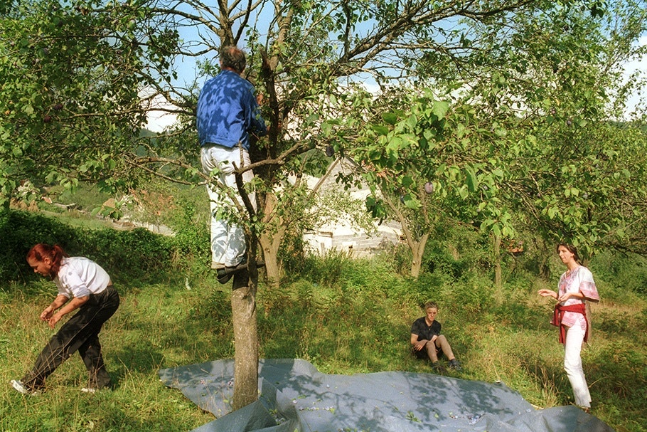 Four people picking plums from a tree.
