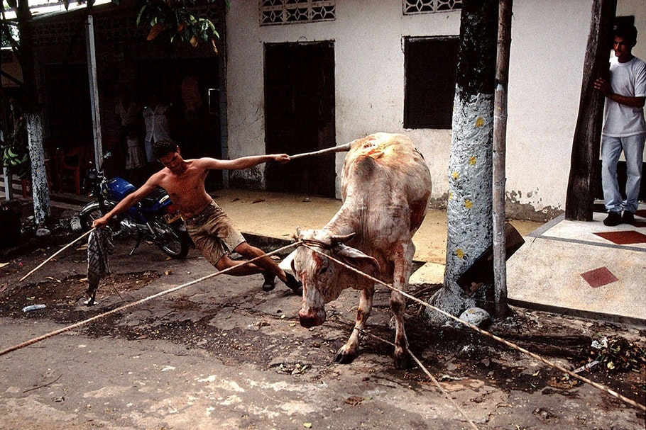 A man pulling a cow.