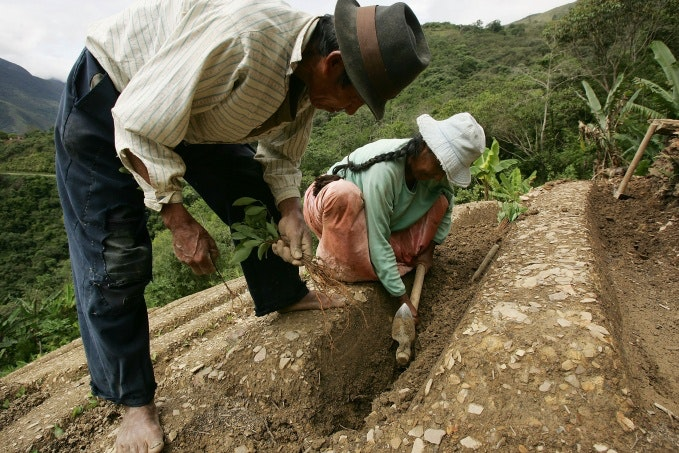 Two people planting coca plants on a hillside